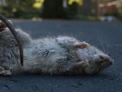Gratis Offerte Ratten en Muizen bestrijden